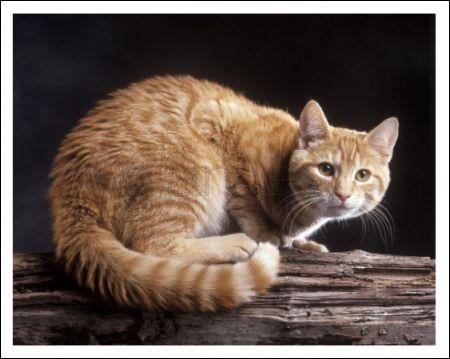 external image European-Ginger-Tabby-Cat_646253.jpg